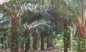 Dagon Group Of Companies-Palm Oil Nursery Farm