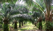Dagon Group Of Companies-Palm Oil Nursery Farm